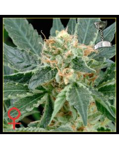 A.M.S. - GREEN HOUSE SEEDS
