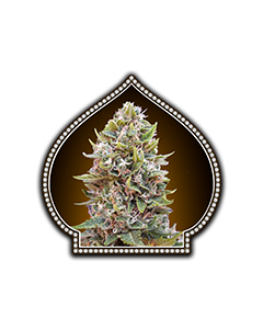 Auto Cheese Berry - 00 SEEDS BANK