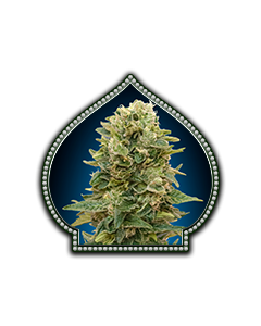 Auto Afghan Mass - 00 SEEDS BANK