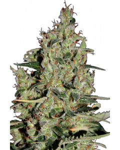 Auto Critical - SEEDMAKERS