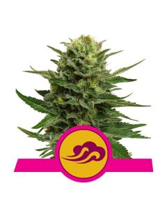 Blue Mystic - ROYAL QUEEN SEEDS