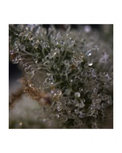 Fruity M. Mass - BCN SEEDS