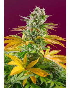 Gorilla Girl F1 Fast Version  - SWEET SEEDS  ¡NOVEDAD 2020!