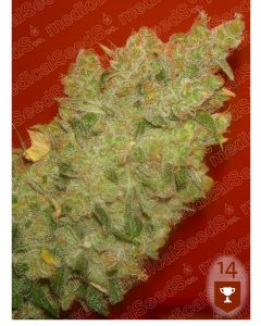 Jack La Mota- MEDICAL SEEDS