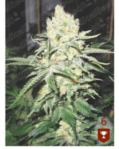 No Name - MEDICAL SEEDS