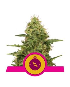 Northern Light - ROYAL QUEEN SEEDS