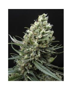 Ripper Haze - RIPPER SEEDS