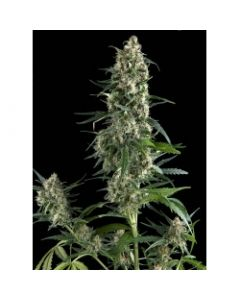 Amnesia Gold - PYRAMID SEEDS