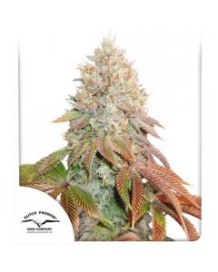 Auto Banana Blaze - DUTCH PASSION