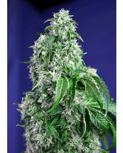 Big Devil F1 Fast Version  - SWEET SEEDS