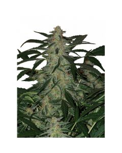 Deimos Auto - BUDDHA SEEDS BANK