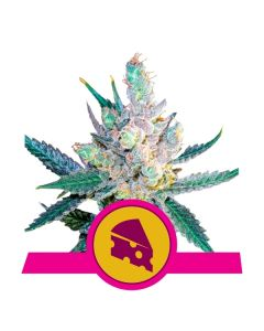 Royal Cheese Fast Flowering - ROYAL QUEEN SEEDS