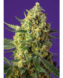 Crystal Candy XL Auto  - SWEET SEEDS  ¡NOVEDAD 2020!