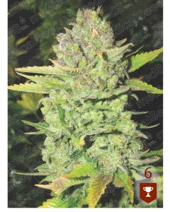 Devil Fruit - MEDICAL SEEDS