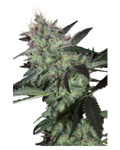 Super Diesel - SEEDMAKERS