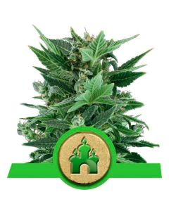 Royal Kush Automatic - ROYAL QUEEN SEEDS