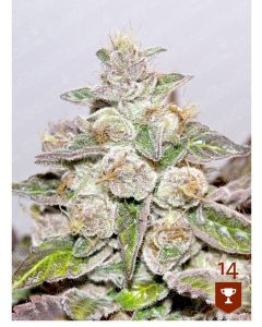 Mendocino Purple Kush - MEDICAL SEEDS