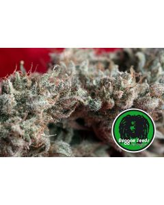 O'Haze Red - REGGAE SEEDS
