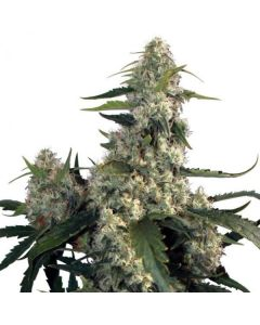 Quasar  - BUDDHA SEEDS BANK
