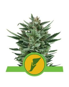 Quick One - ROYAL QUEEN SEEDS