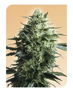 Mother's Finest - SENSI SEEDS