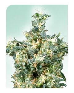American Dream - SENSI SEEDS